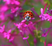 Lady Bug Framed Prints - Little Lady Framed Print by Shelley Neff