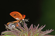 Wings Photos - Little Ladybug by Annemarie van den Berg