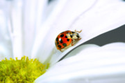 Daisy Framed Prints - Little ladybug on daisy Framed Print by Sandra Cunningham