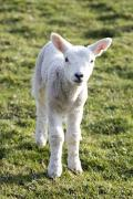 Ewes Art - Little Lamb by John Short