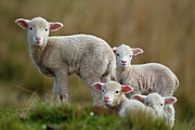 Grass Metal Prints - Little Lambs Metal Print by Ronai Rocha