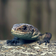 One Animal Prints - Little Lizard Climbing Over Wall, York Print by BlackCatPhotos