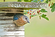 Bluebird Metal Prints - Little Mama Bluebird Metal Print by Bonnie Barry