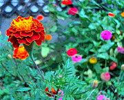 Padre Art Photos - Little Marigold and Zinnia Flowers by Padre Art