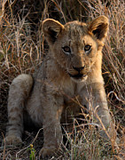 Lion Cub Poster Posters - Little One Poster by Sarah  Lalonde