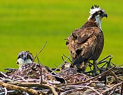 Nest Watching Posters - Little Osprey Poster by Nick Zelinsky
