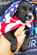 Puppy Photo Originals - Little Patriot by Dieter  Lesche