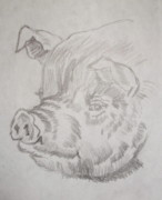 Barn Yard Drawings Prints - Little Piggy Print by Nancy Rucker