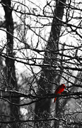 Red Cardinal Framed Prints - Little Red Bird Framed Print by Simone Hester