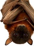 Serena Bowles - Little Red Flying Fox...