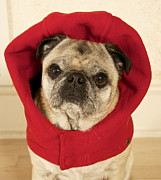 Funny Pet Picture Posters - Little Red Riding Pug Poster by Cindy Lee Longhini