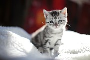Cute Kitten Prints - Little Scottish Cat Print by Photography by Bobi