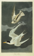 Flying Drawings Posters - Little Tern Poster by John James Audubon