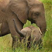 Elephant Photos - Little Toot by Joseph G Holland