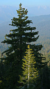 Sequoia National Park Prints - Little Tree of Light Print by Adam Pender