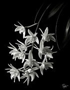 Flower Photos Framed Prints - Little White Orchids in Black and White Framed Print by Endre Balogh