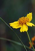 Amee Stadler - Little Yellow