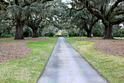 Historic Garden Framed Prints - Live Oak Alee Framed Print by Suzanne Gaff