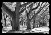 Live Oaks Digital Art Framed Prints - Live Oak Giants - Black and White Framing Framed Print by Carol Groenen