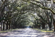 Live Oaks Framed Prints - Live Oak Lane in Savannah Framed Print by Carol Groenen