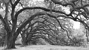 Live Oaks Framed Prints - Live Oak Trees Charleston South Carolina Framed Print by Dustin K Ryan