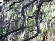 Live Oak With Spanish Moss And Palms Print by Carol Groenen