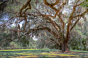 Oak Photos - Live Oaks by Drew Castelhano
