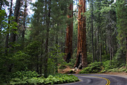 Sequoia National Park Prints - Living Giants Print by Anthony Citro