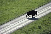Bison Photos - Living Symbol Of Mans Uneasy by Raymond Gehman