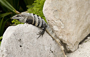 Iguana Metal Prints - Lizard Metal Print by Blink Images