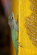 Colorful Photography Framed Prints - Lizard Framed Print by Sophie Vigneault