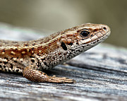 Reptile Photos - Lizard by Svein Nordrum