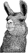 Llama Digital Art Framed Prints - Llama Framed Print by Drawings & Artwork by Karl Addison