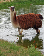 Llama Photos - Llama by Gayle Johnson