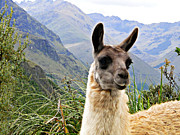 Llama Photos - Llama Of The Cajas by Al Bourassa