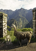 On-the-look-out Acrylic Prints - Llama on the Inca Trail by Darcy Michaelchuk