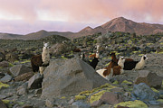 Animal Behavior Art - Llamas At Rest In A Rocky Landscape by Joel Sartore