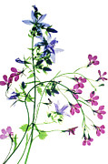 Lobelia Framed Prints - Lobelia Erinus regatta Series Framed Print by Dr Keith Wheeler