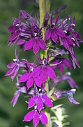 Lobelia Framed Prints - Lobelia X Speciosa hadspen Purple Framed Print by Dr Keith Wheeler