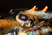 Aquatic Life Posters - Lobster Eye Poster by Ted Kinsman