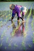 Baskets Photos - Local Planting Rice By Hand by Axiom Photographic