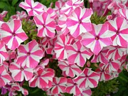 Phlox Framed Prints - Locks of Phlox Framed Print by Randy Rosenberger