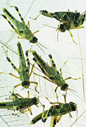 Locust Prints - Locusts Print by David Aubrey
