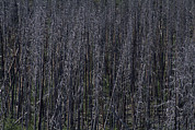 Bare Trees Prints - Lodgepole Snags Verge On Collapse Print by Gordon Wiltsie