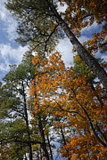 Autumn Foliage Prints - Lofty Print by Betty LaRue