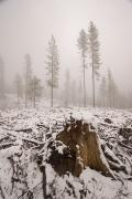 Foggy Day Posters - Logged Area Of The Stanislaus National Poster by Phil Schermeister