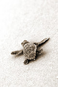 Head Prints - Loggerhead Print by Michael Stothard