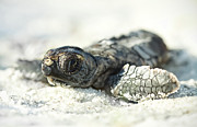 Young Animal Posters - Loggerhead Sea Turtle Hatchling Poster by Kristian Bell