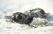 Loggerhead Sea Turtle Hatchling Print by Kristian Bell