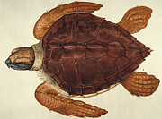New World Photos - Loggerhead Turtle, 1585 by Granger